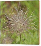 Spiky Plant Pulsatila Halleri Wood Print