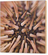 Spiny Urchin Wood Print