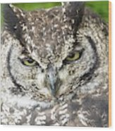 Spotted Eagle Owl  Wood Print