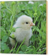 Spring Chick Wood Print