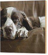 Springer Spaniel Sleeping On The Sofa Wood Print