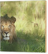Staring Lion In Field Of Grass With Wood Print