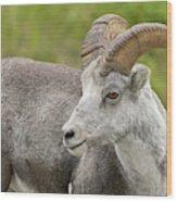 Stone's Sheep Ram Wood Print