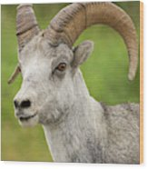Stone's Sheep Ram Portrait Wood Print