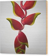 Studio Shot Of Hanging Red Lobster Claw Wood Print