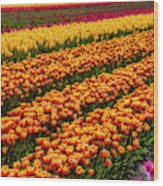 Stunning Rows Of Colorful Tulips Wood Print