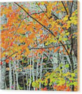 Sugar Maple Acer Saccharum In Autumn Wood Print