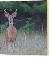 Summer Young Buck 1 Wood Print