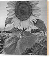 Sunflowers 10 Wood Print