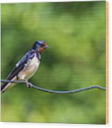 Swallow  Hirundo Rustica  Wood Print