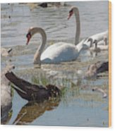 Swan Family Outting  Wood Print