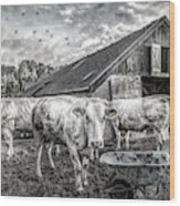 The Cows Came Home Black And White Wood Print