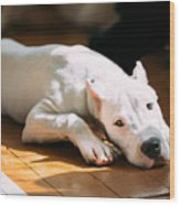 The Dogo Argentino Also Known As The Wood Print