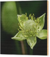 Thimbleweed Flower Wood Print