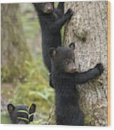 Three Little Bears Wood Print