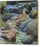 Three Mallard Ducks Swimming In A Stone Filled Brook. Wood Print