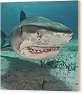 Tiger Sharks Galeocerdo Cuvier Are Wood Print