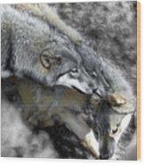 Timber Wolves Up Close Wood Print