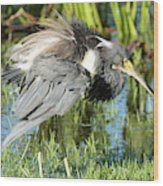 Tricolored Heron With Ruffled Feathers Wood Print