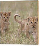 Two Lion Panthera Leo Cubs Walking Wood Print
