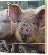 Two Pigs On  Farm Wood Print