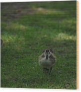 Waddling Ducklings Wood Print