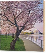 Washington Dc Cherry Trees, Footpath Wood Print