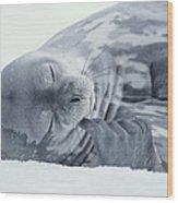 Weddell Seal Leptonychotes Weddellii Wood Print