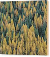 Western Larch Forest Wood Print