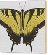 Western Tiger Swallowtail Butterfly Wood Print