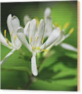 White Honeysuckle Flowers Wood Print