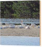 White Pelican Rest Wood Print