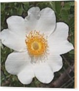 Wild Texas Rose, White Wood Print