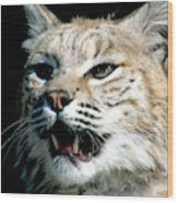 Wildcats Mascot 2 Wood Print