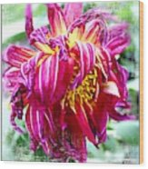Wilted Dahlia. Wood Print