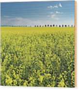 Yellow Canola Field And Blue Sky Spring Landscape Wood Print