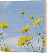 Yellow Cosmos Flowers With Light Blue Wood Print