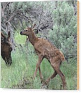 Yellowstone Elk Calf And Cow Wood Print