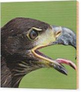 Young Bald Eagle 2 Wood Print
