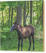 Young Brown Colt Wood Print