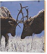 Young Bull Rocky Mountain Elk Cervus Wood Print