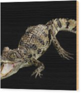 Young Cayman Crocodile, Reptile With Opened Mouth And Waved Tail Isolated On Black Background In Top Wood Print