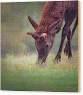 Young Elk Grazing Wood Print
