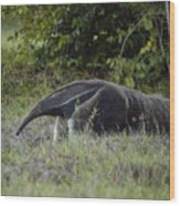 Giant anteater (myrmecophaga tridactyla), cerrado region, Brazil Wood Print