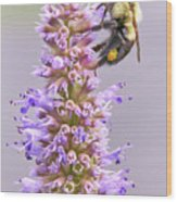 Bumblebee on Blue Giant Hyssop Wood Print