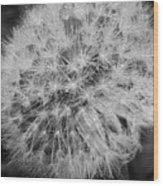 Dewy Dandelion Wood Print