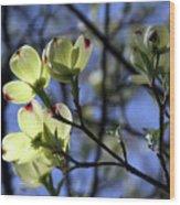 Dogwood in Sunlight Wood Print