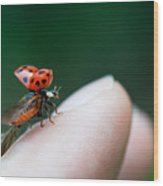Ladybug Just Before Flying Away From Fingertip Wood Print