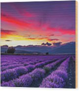 Lavender Season Wood Print