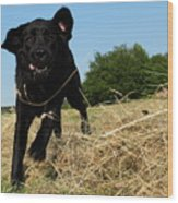 Running and jumping hunting black Labrador Retreiver dog in hay Wood Print